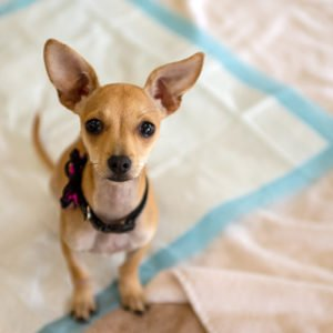 Teacup chihuahua with pee pads